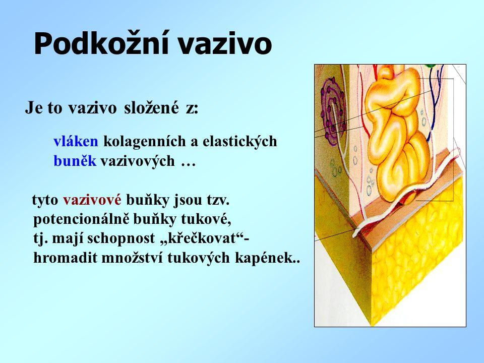 Podkožní vazivo Je to vazivo složené z: