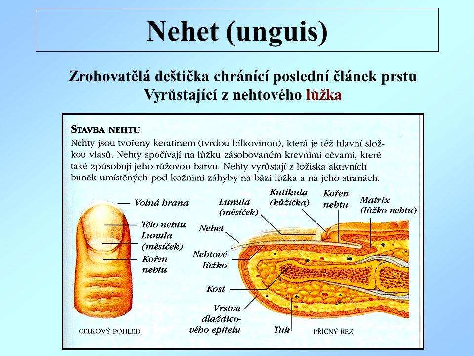 Nehet (unguis) Zrohovatělá deštička chránící poslední článek prstu