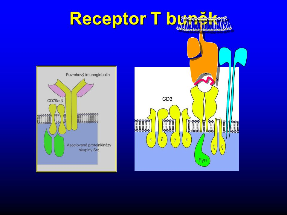 Receptor T buněk