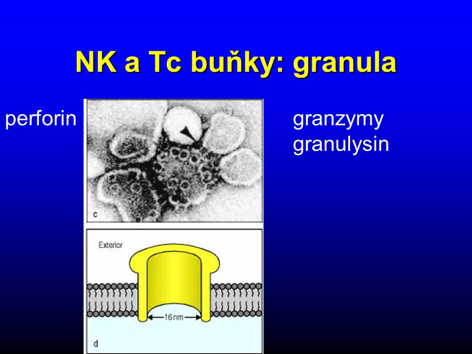 NK a Tc buňky: granula perforin granzymy granulysin