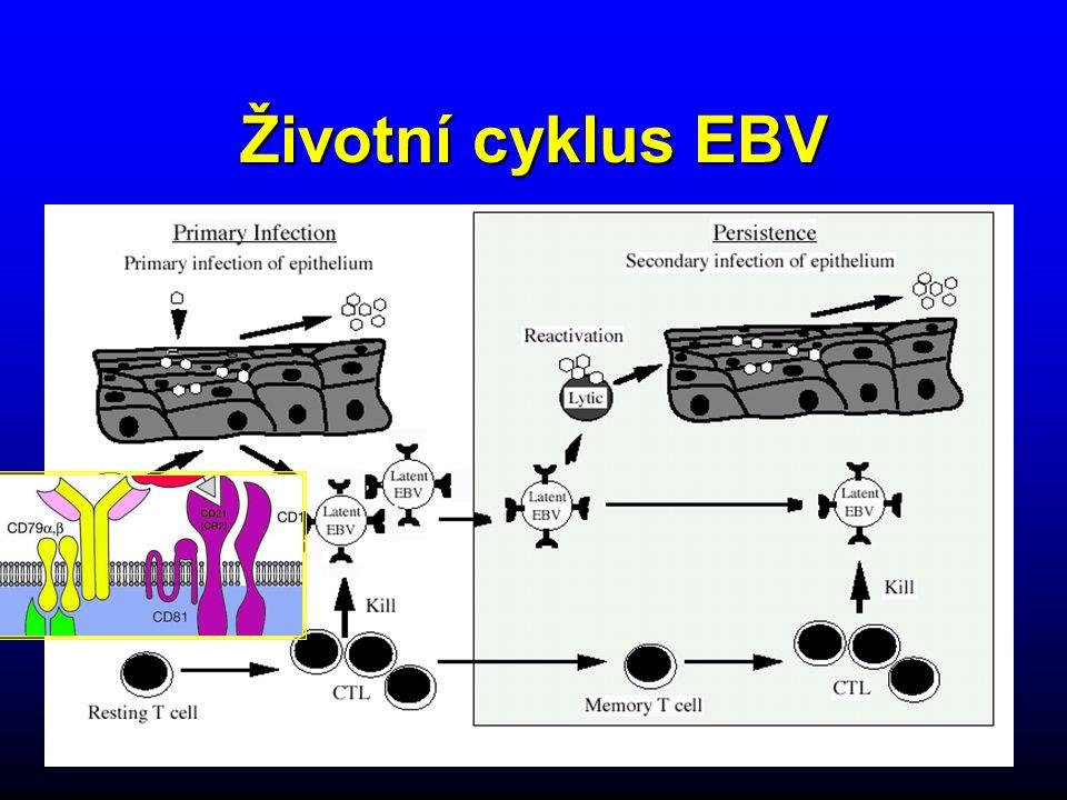 Životní cyklus EBV
