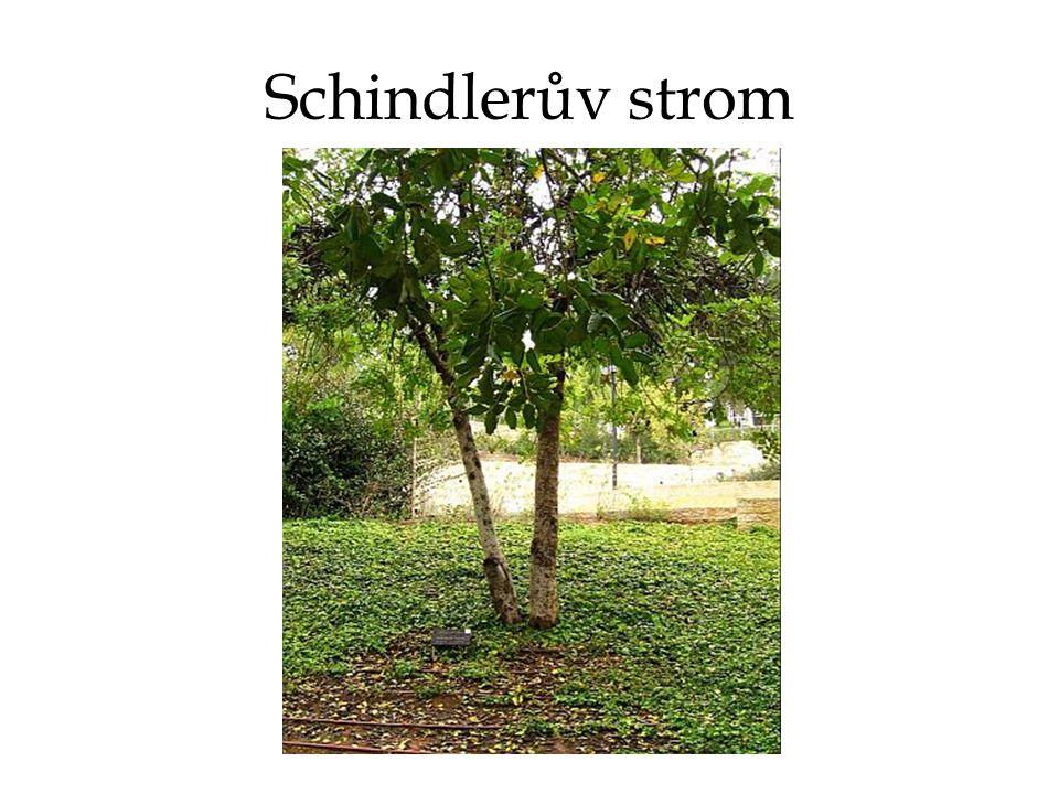 Schindlerův strom
