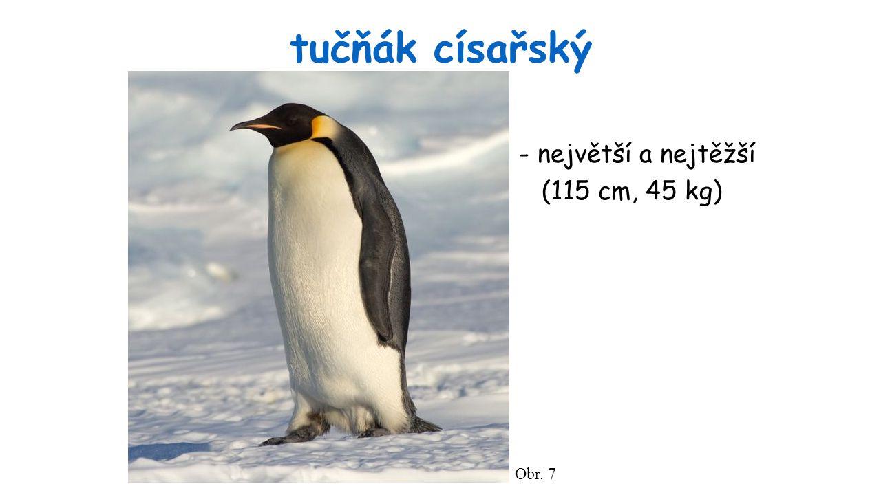 tučňák císařský - největší a nejtěžší (115 cm, 45 kg) Obr. 7