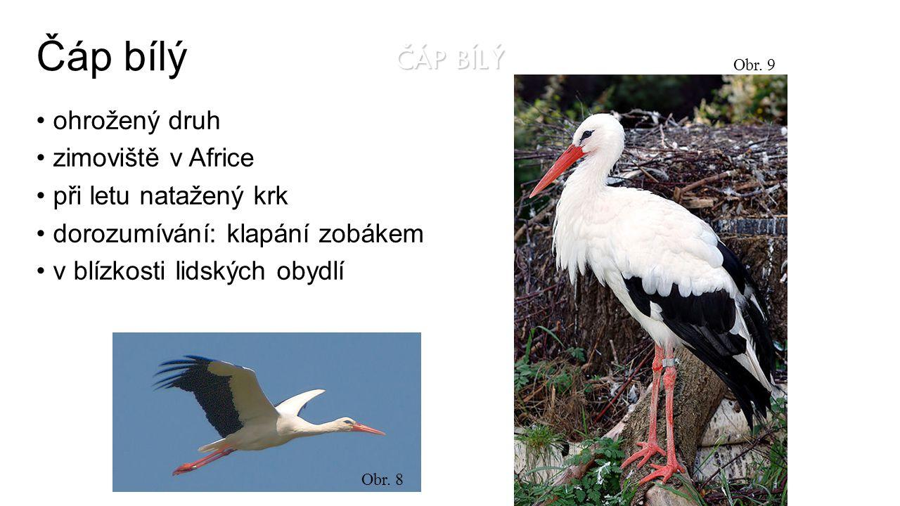 Čáp bílý ČÁP BÍLÝ ohrožený druh zimoviště v Africe