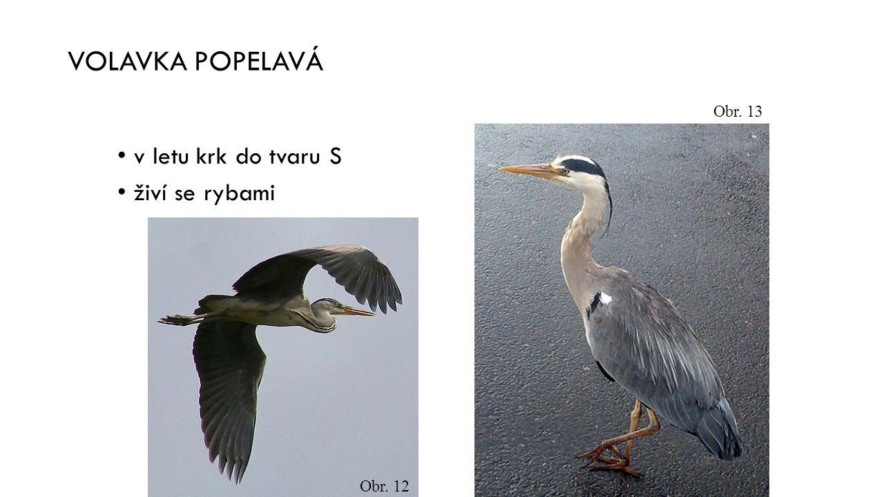 VOLAVKA POPELAVÁ Obr. 13 v letu krk do tvaru S živí se rybami Obr. 12