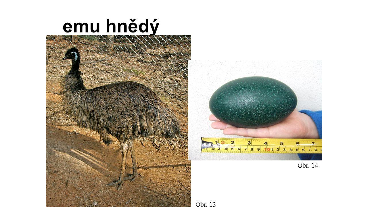 emu hnědý Obr. 14 Obr. 13