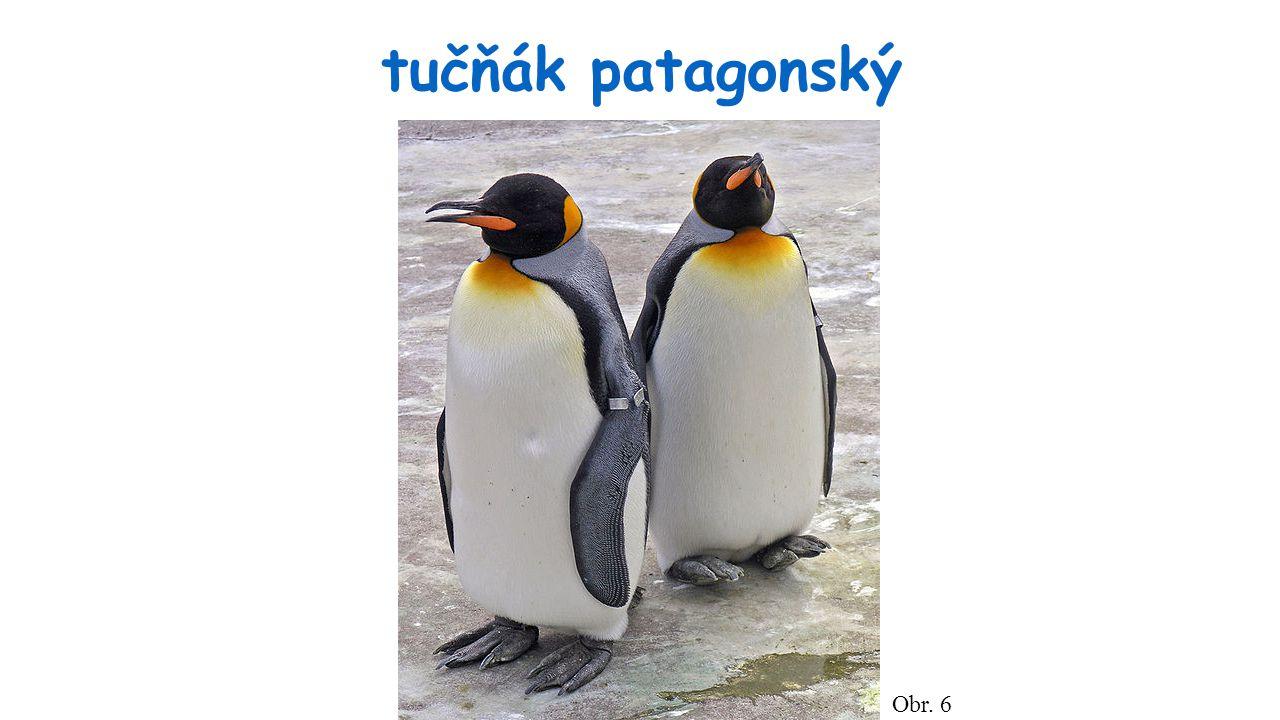tučňák patagonský Obr. 6