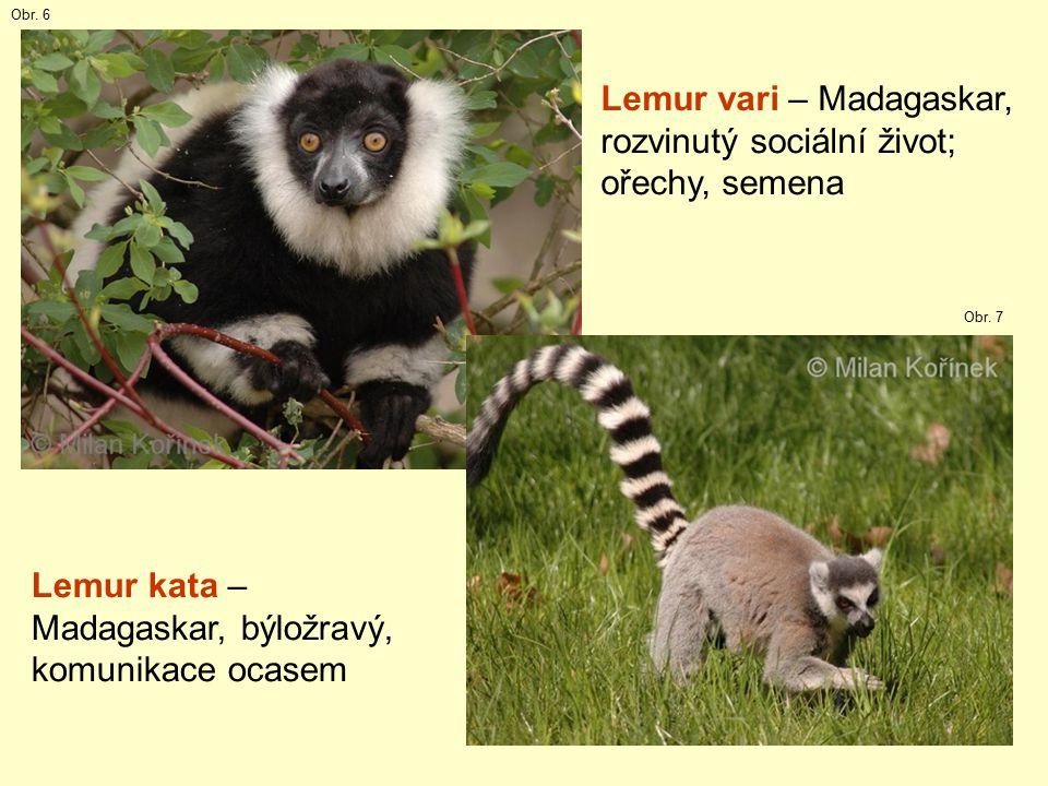Lemur vari – Madagaskar, rozvinutý sociální život; ořechy, semena