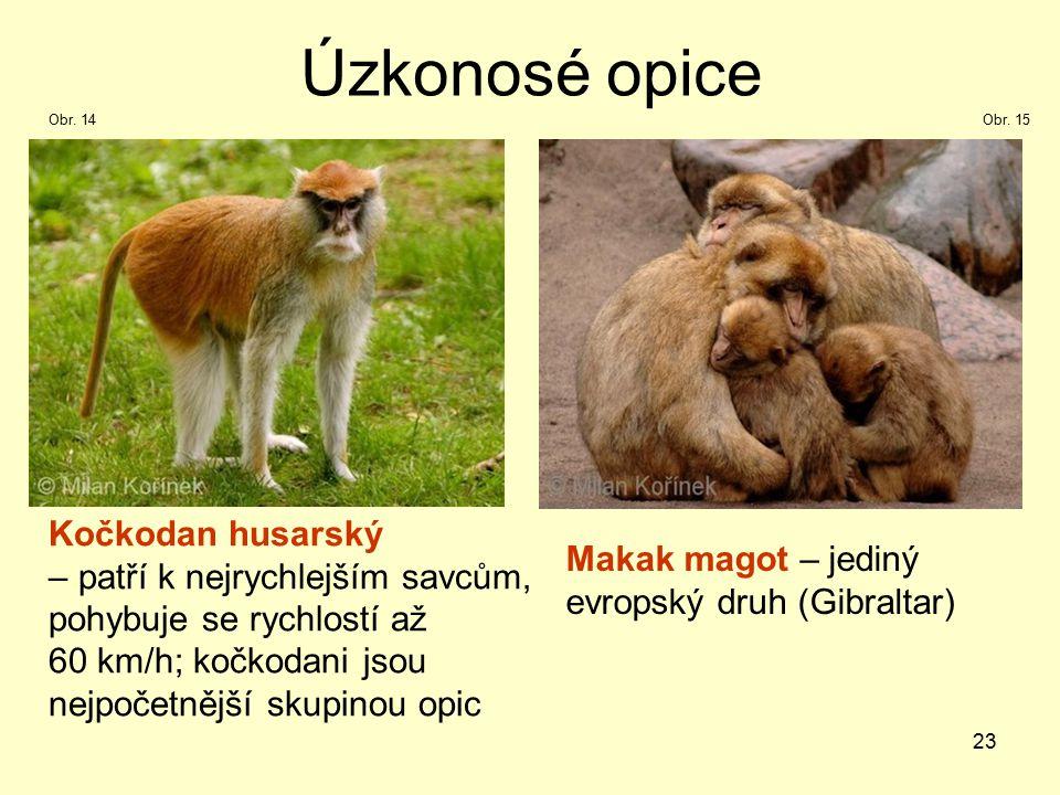 Úzkonosé opice Kočkodan husarský – patří k nejrychlejším savcům,