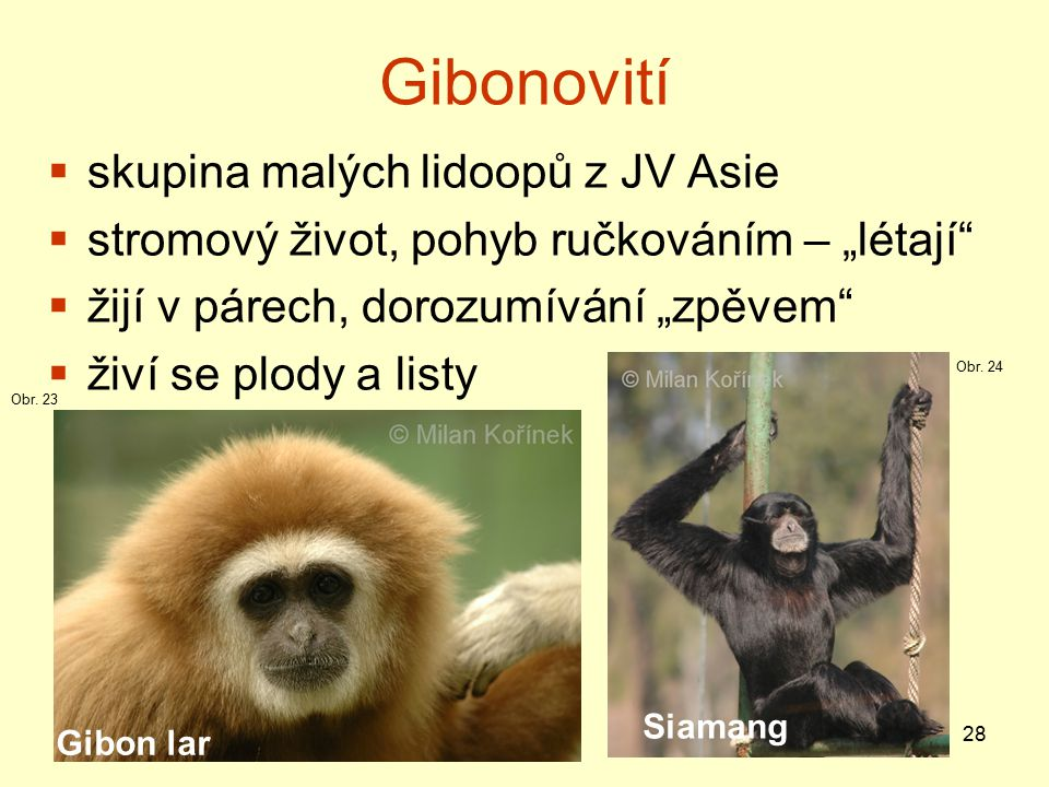 Gibonovití skupina malých lidoopů z JV Asie