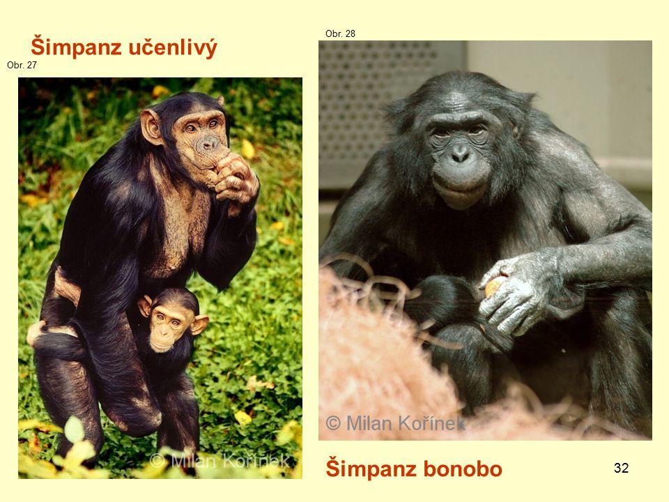 Obr. 28 Šimpanz učenlivý Obr. 27 Šimpanz bonobo