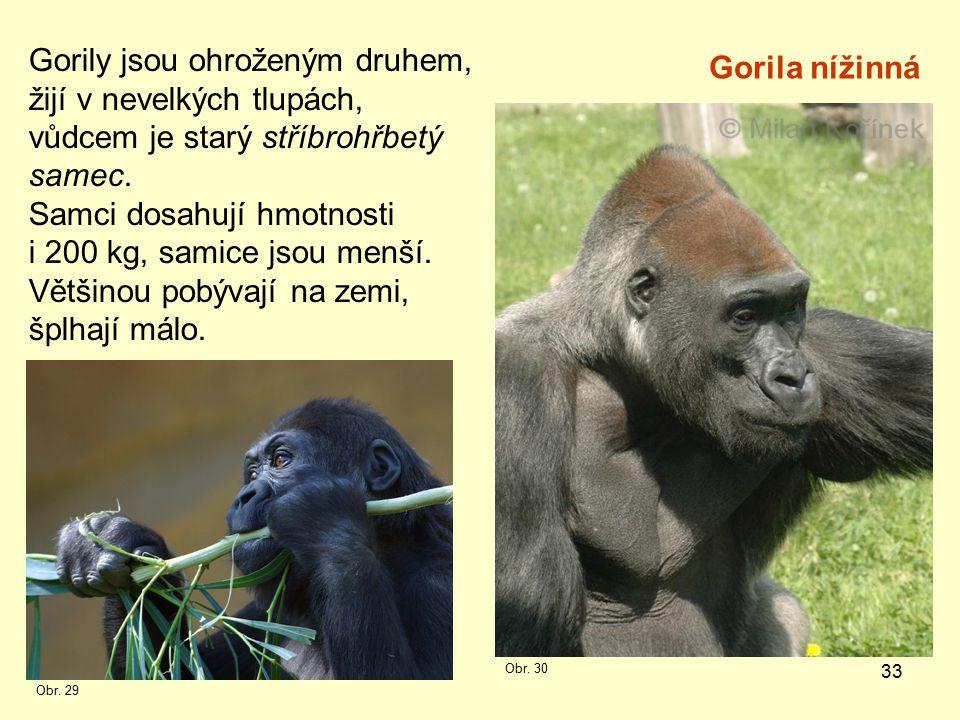 Gorily jsou ohroženým druhem, žijí v nevelkých tlupách,