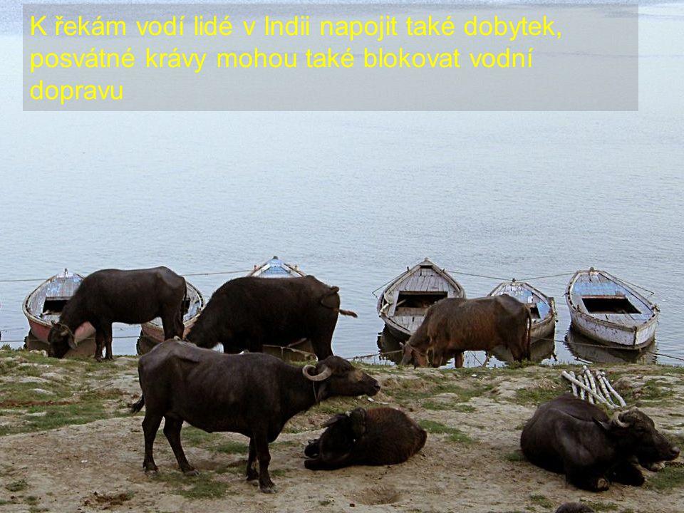 K řekám vodí lidé v Indii napojit také dobytek, posvátné krávy mohou také blokovat vodní dopravu