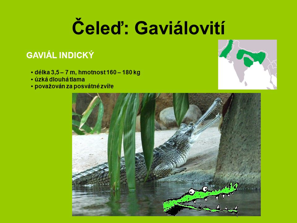 Čeleď: Gaviálovití GAVIÁL INDICKÝ