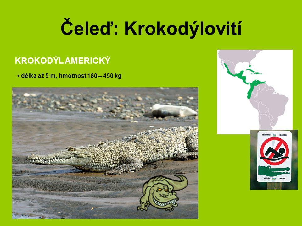 Čeleď: Krokodýlovití KROKODÝL AMERICKÝ