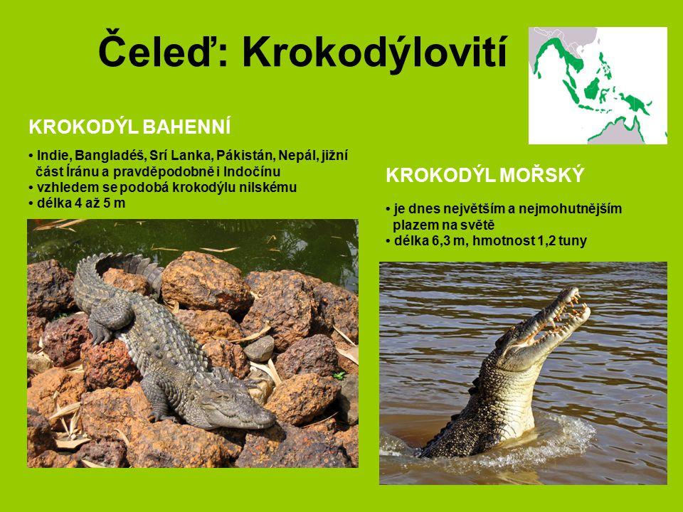 Čeleď: Krokodýlovití KROKODÝL BAHENNÍ KROKODÝL MOŘSKÝ