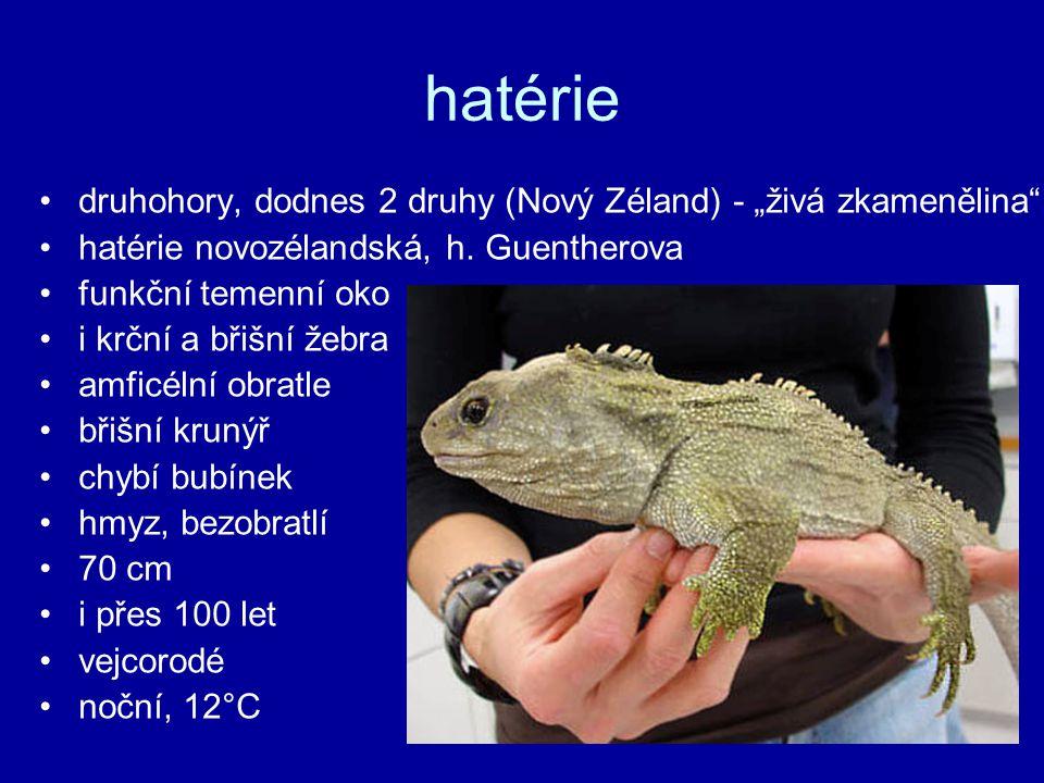 """hatérie druhohory, dodnes 2 druhy (Nový Zéland) - """"živá zkamenělina"""
