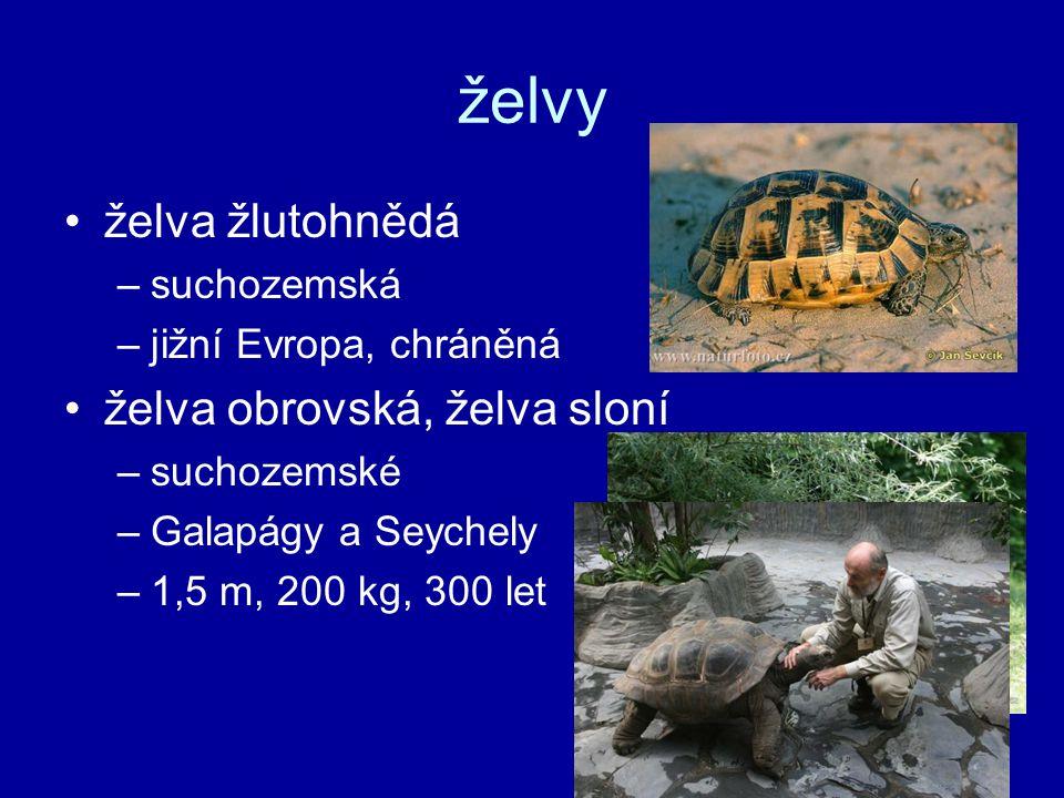 želvy želva žlutohnědá želva obrovská, želva sloní suchozemská