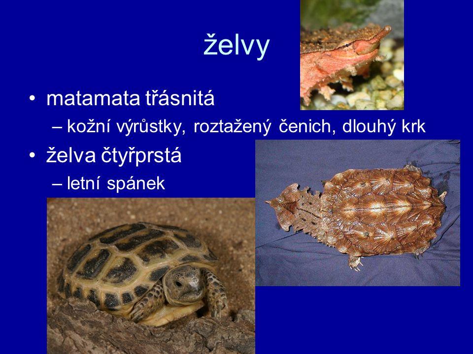 želvy matamata třásnitá želva čtyřprstá