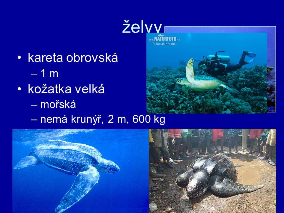 želvy kareta obrovská kožatka velká 1 m mořská