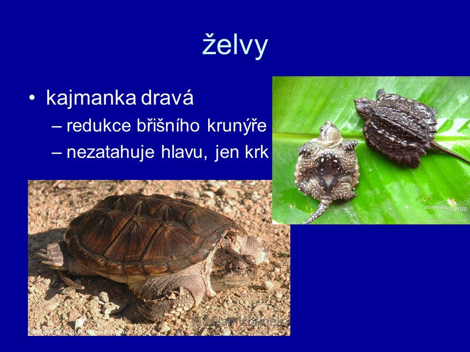 želvy kajmanka dravá redukce břišního krunýře