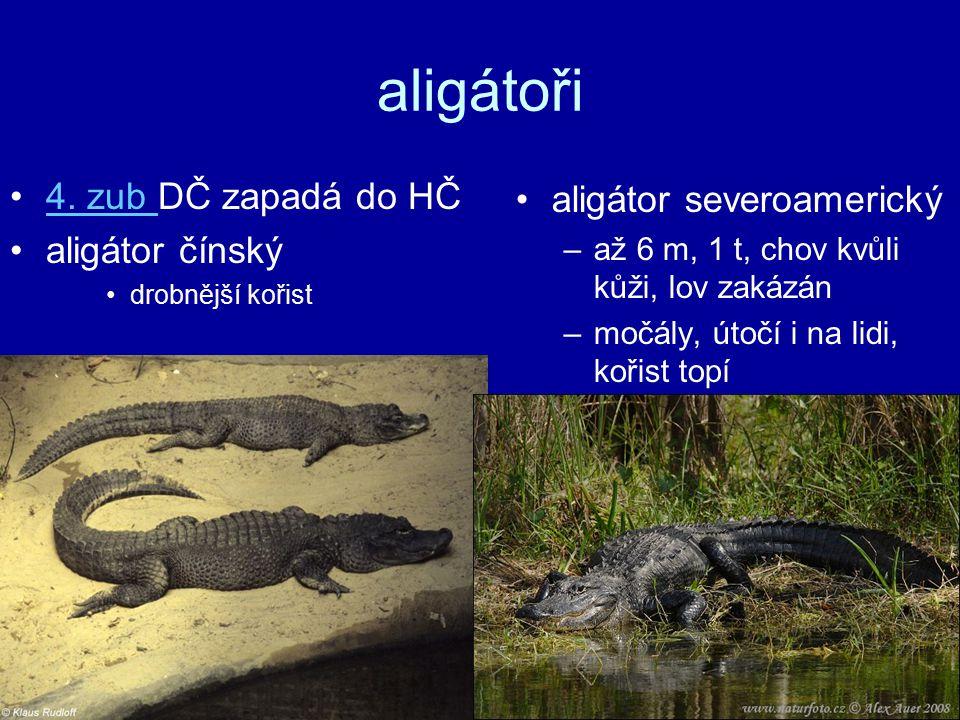 aligátoři 4. zub DČ zapadá do HČ aligátor severoamerický