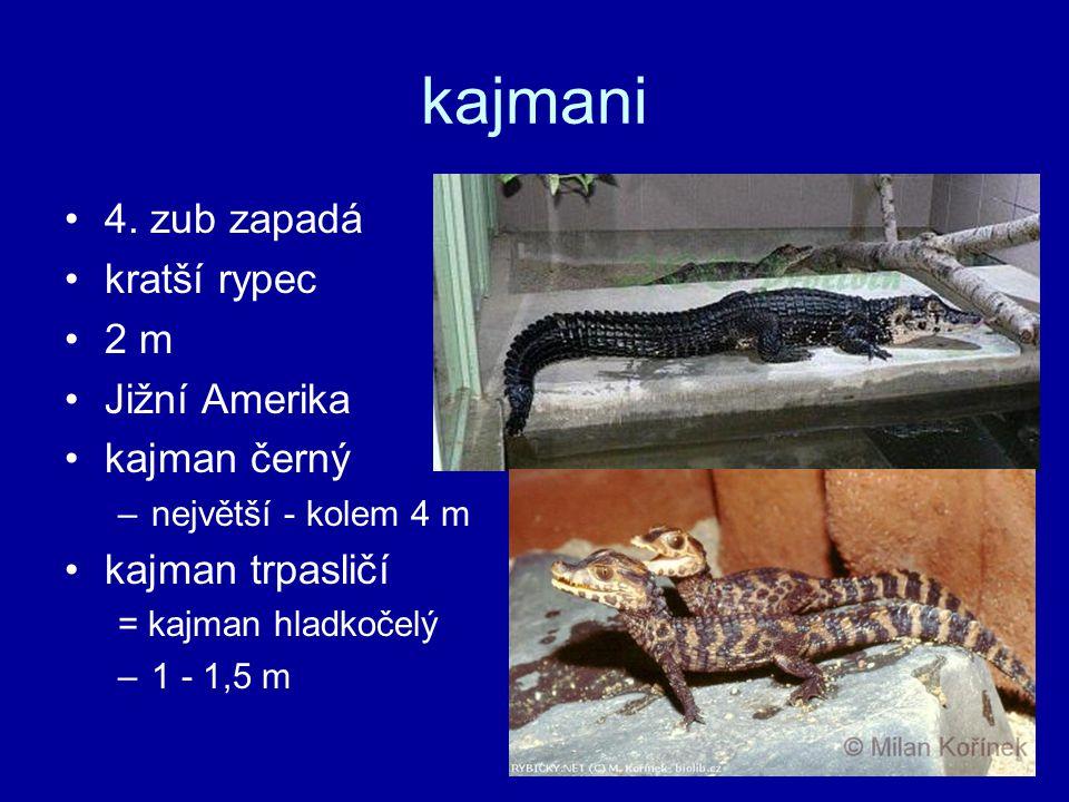 kajmani 4. zub zapadá kratší rypec 2 m Jižní Amerika kajman černý