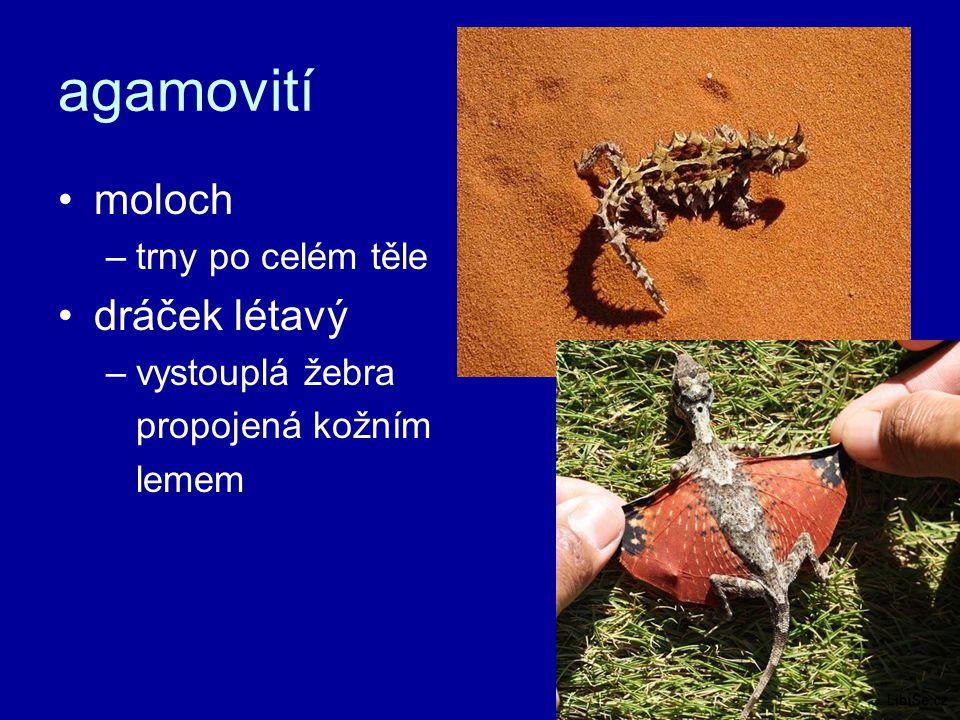 agamovití moloch dráček létavý trny po celém těle vystouplá žebra