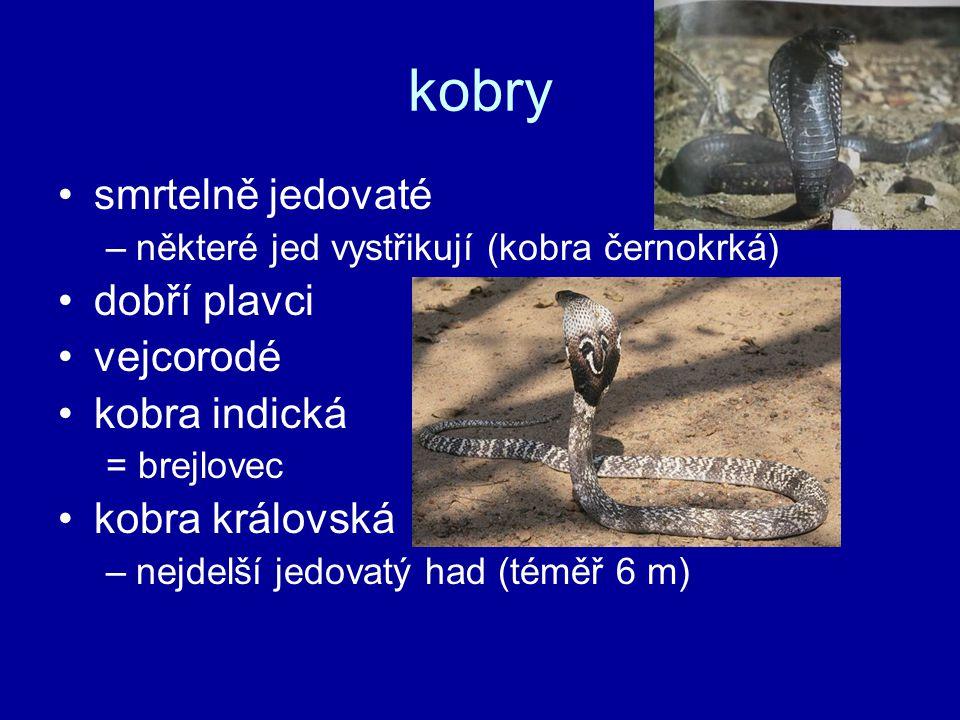 kobry smrtelně jedovaté dobří plavci vejcorodé kobra indická