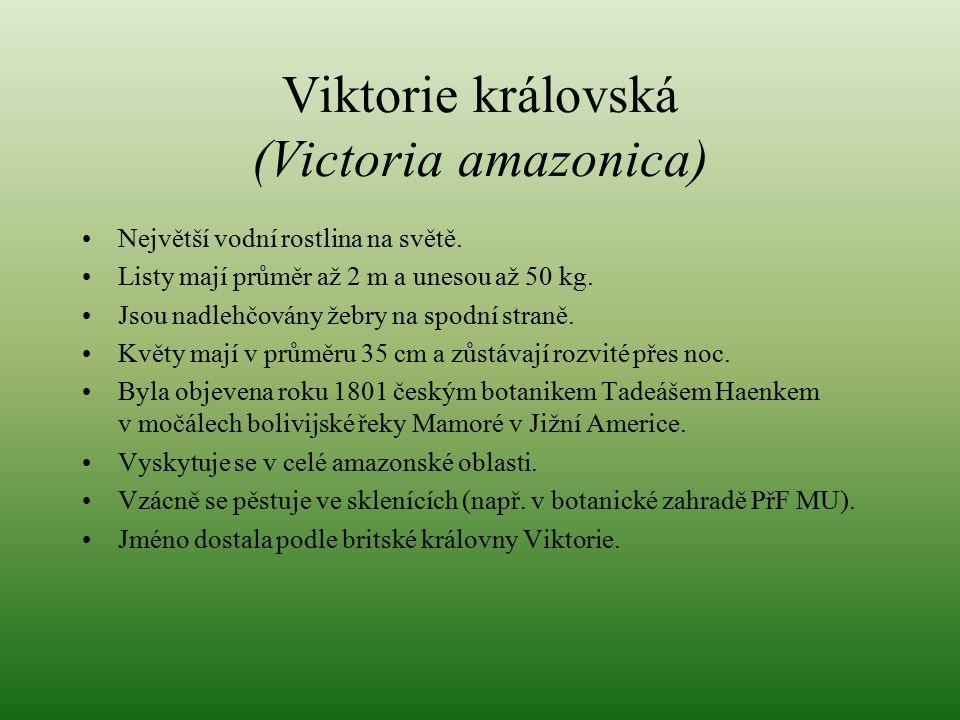 Viktorie královská (Victoria amazonica)