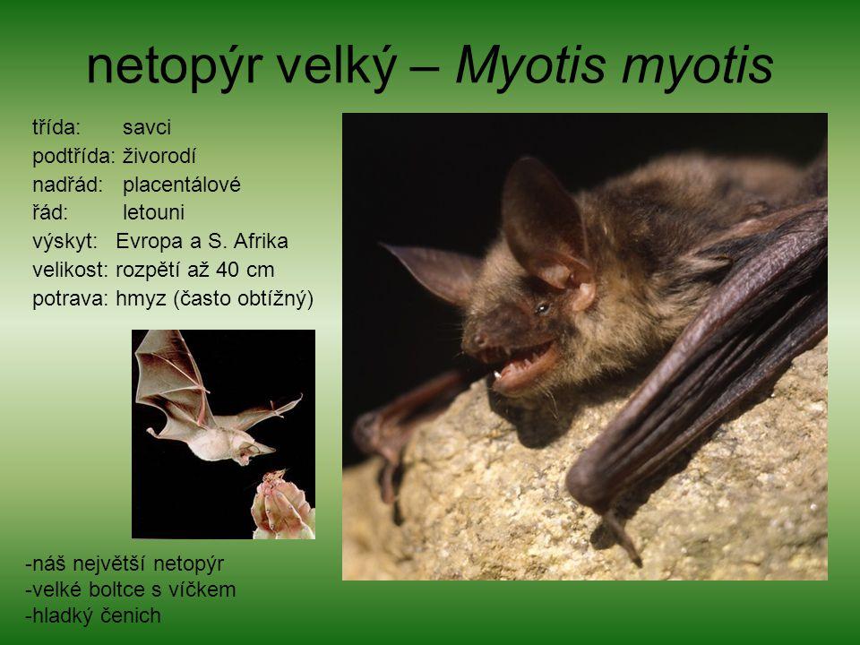 netopýr velký – Myotis myotis