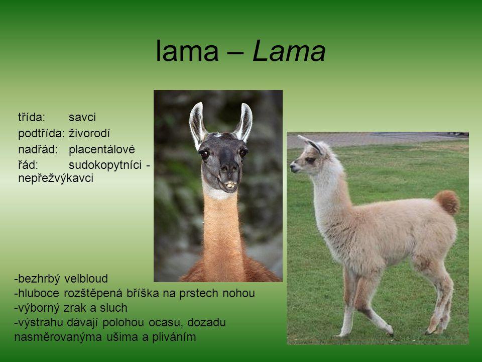 lama – Lama třída: savci podtřída: živorodí nadřád: placentálové