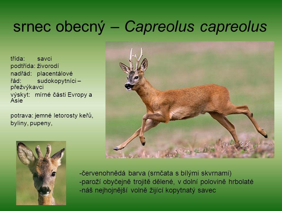 srnec obecný – Capreolus capreolus