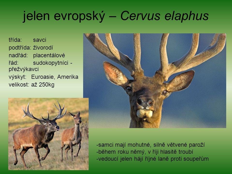 jelen evropský – Cervus elaphus