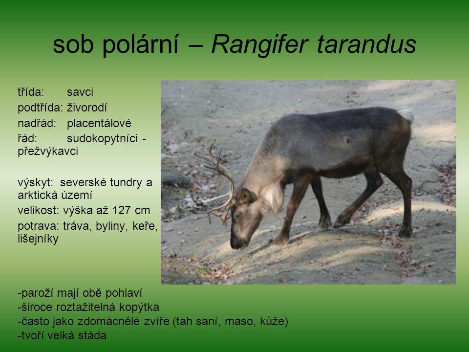 sob polární – Rangifer tarandus