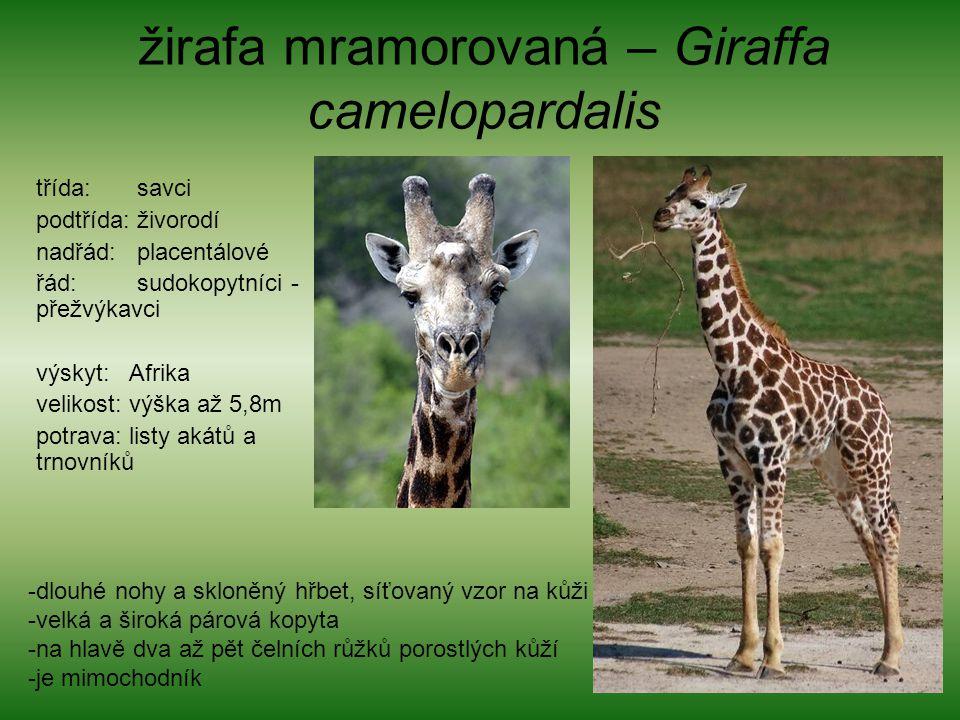žirafa mramorovaná – Giraffa camelopardalis