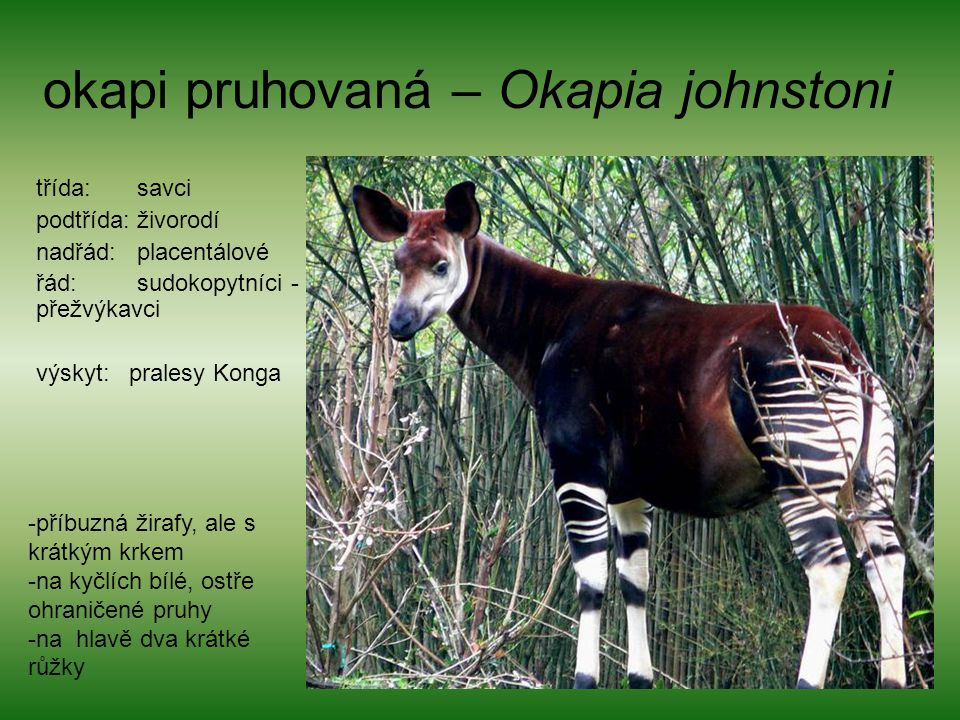 okapi pruhovaná – Okapia johnstoni