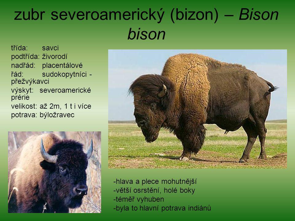 zubr severoamerický (bizon) – Bison bison