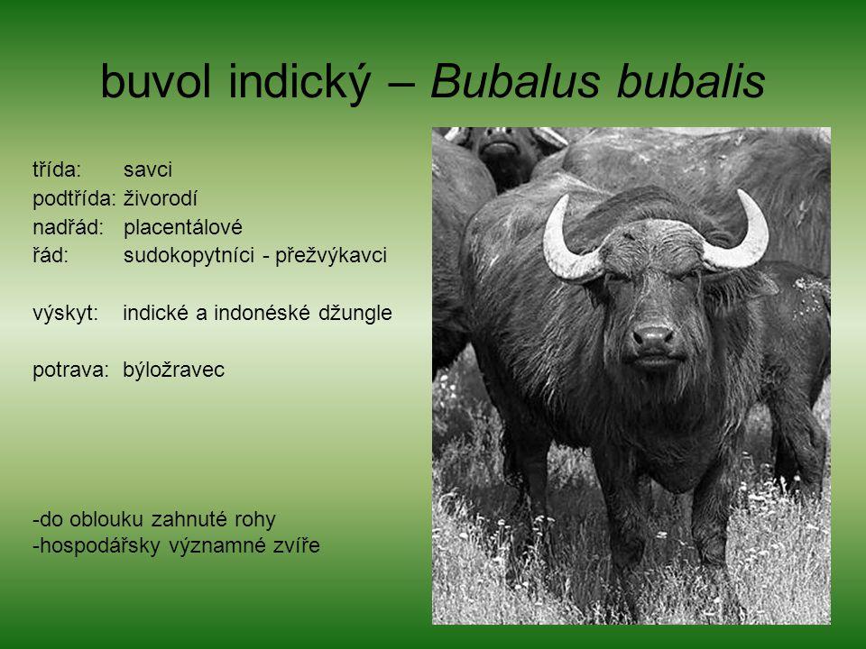 buvol indický – Bubalus bubalis