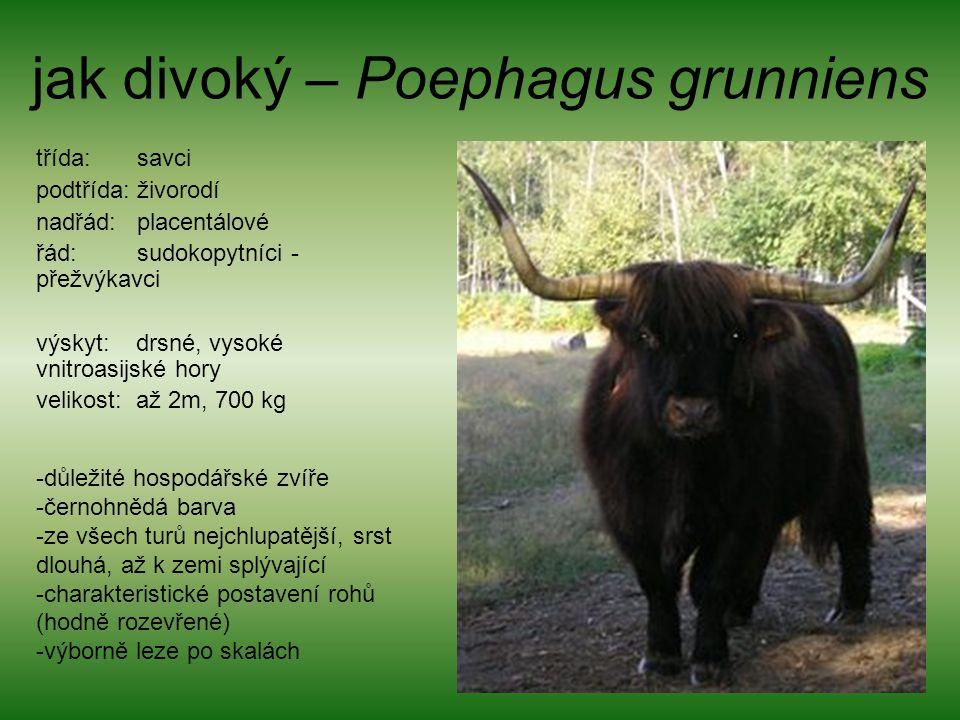 jak divoký – Poephagus grunniens