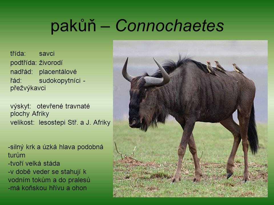 pakůň – Connochaetes třída: savci podtřída: živorodí