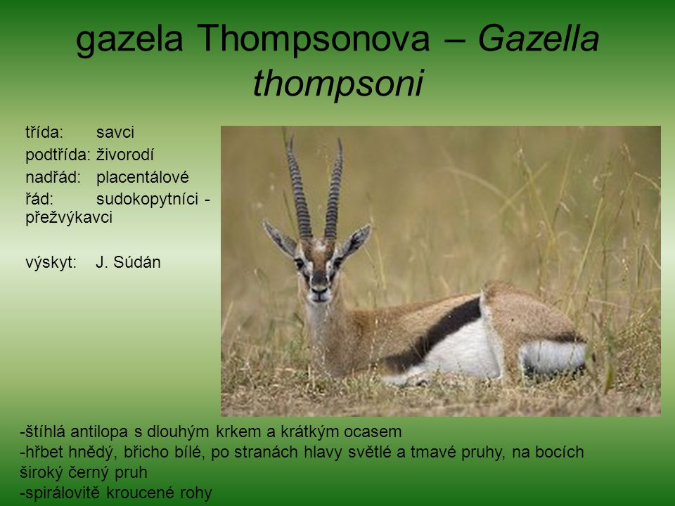 gazela Thompsonova – Gazella thompsoni