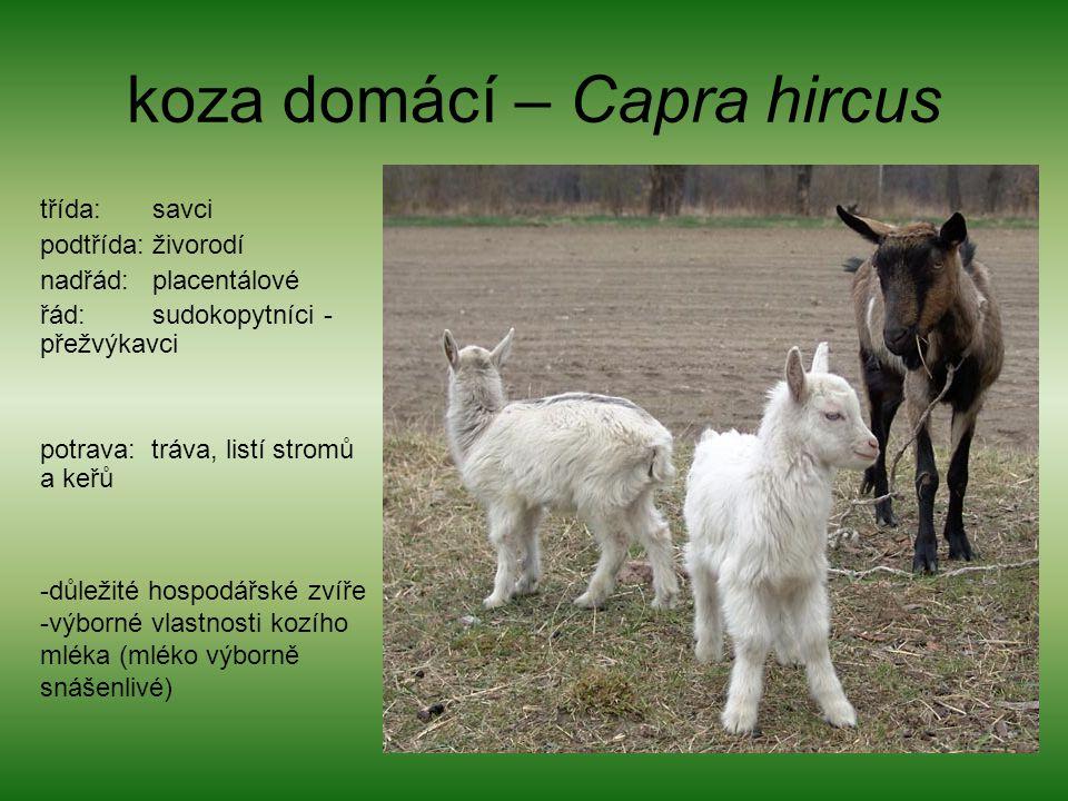 koza domácí – Capra hircus
