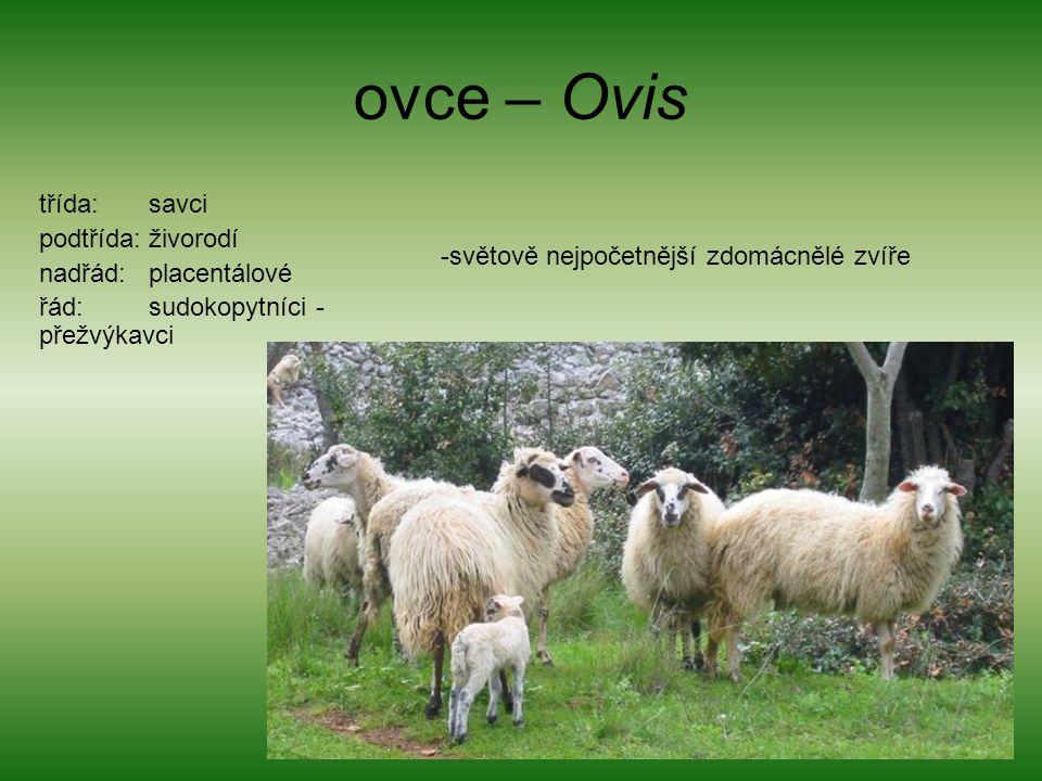 ovce – Ovis třída: savci podtřída: živorodí nadřád: placentálové
