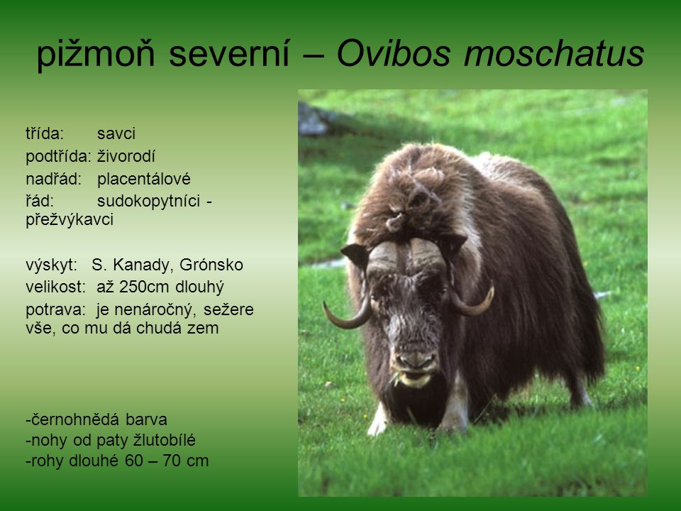 pižmoň severní – Ovibos moschatus