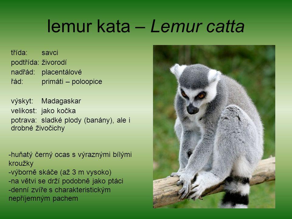 lemur kata – Lemur catta