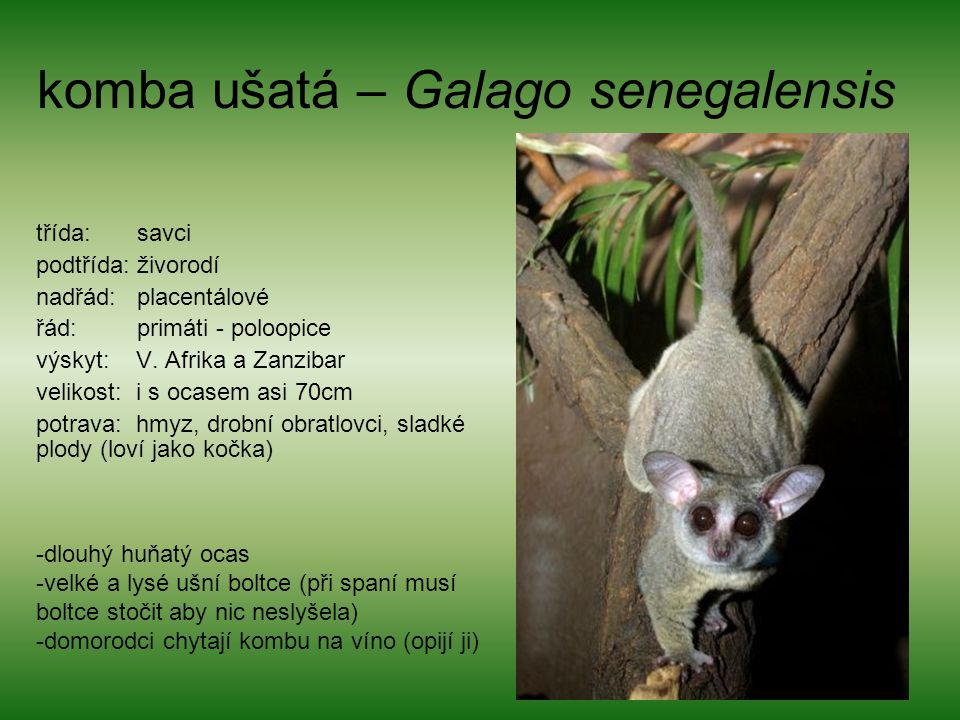 komba ušatá – Galago senegalensis