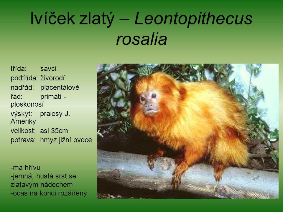 lvíček zlatý – Leontopithecus rosalia