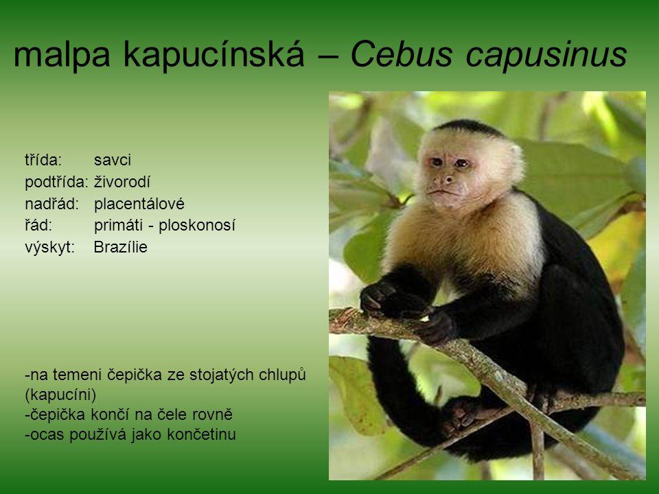 malpa kapucínská – Cebus capusinus