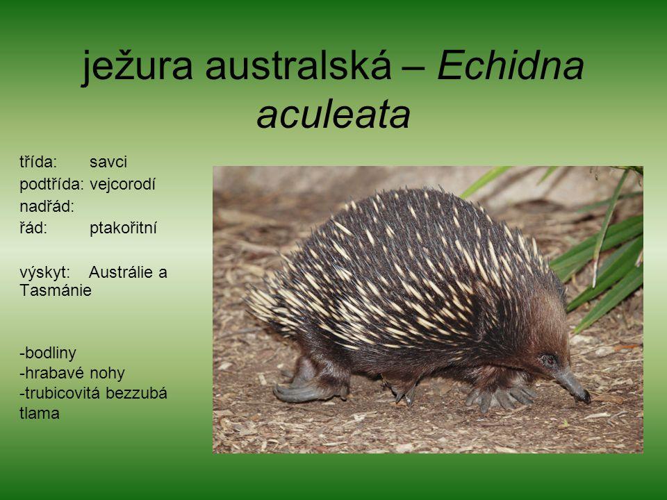 ježura australská – Echidna aculeata
